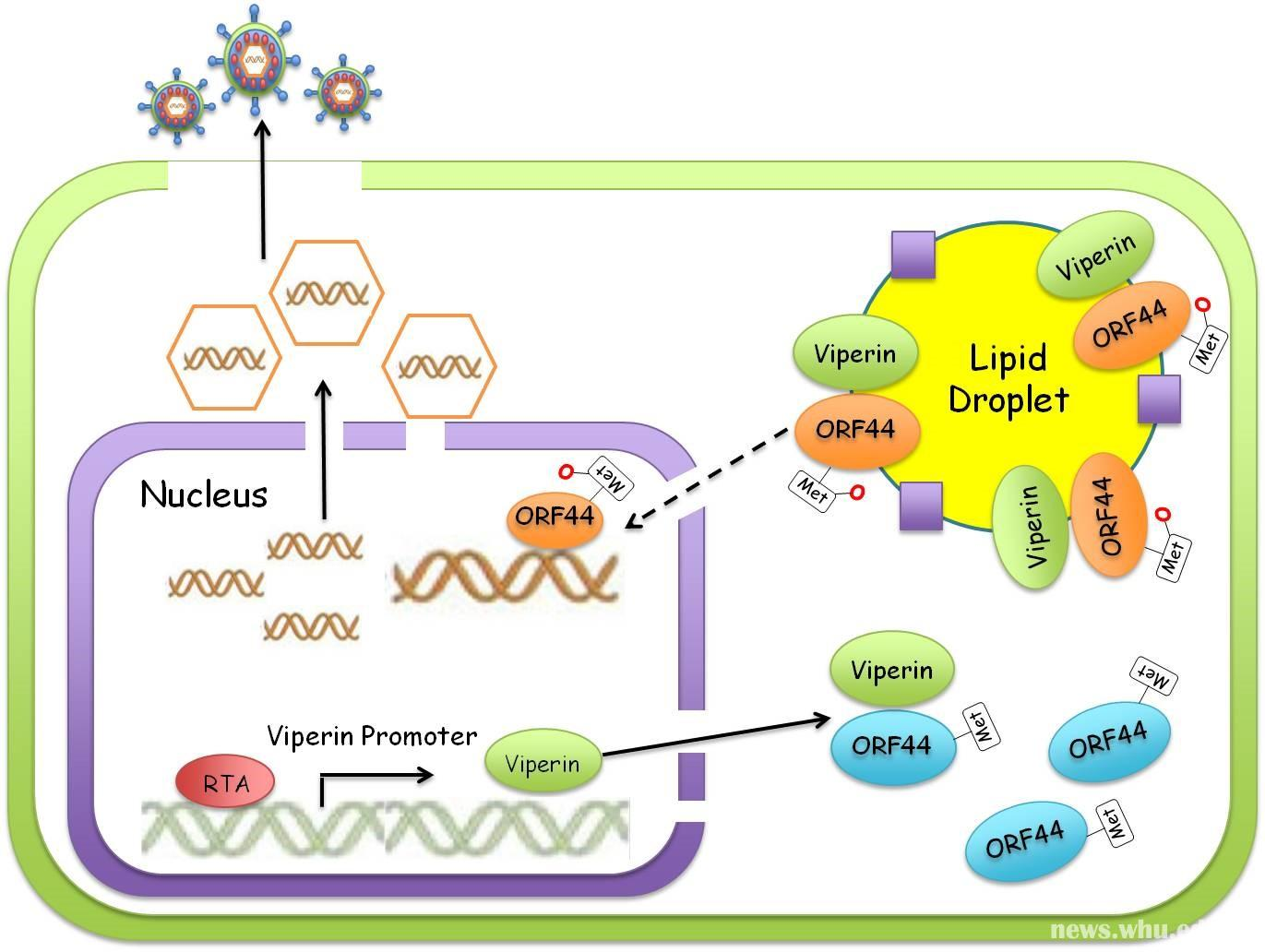 Significant findings by Lan Ke's research team:  Methionine oxidation of representative helicases promotes their expression and functions