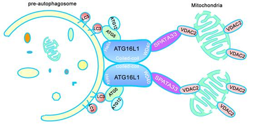 Zhou Rongjia and Cheng Hanhua' s team reveals the molecular mechanism in germline mitophagy